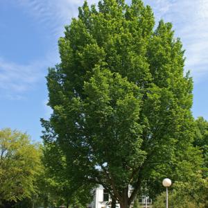 Вяз гибридный «Lobel» - Ulmus «Lobel»