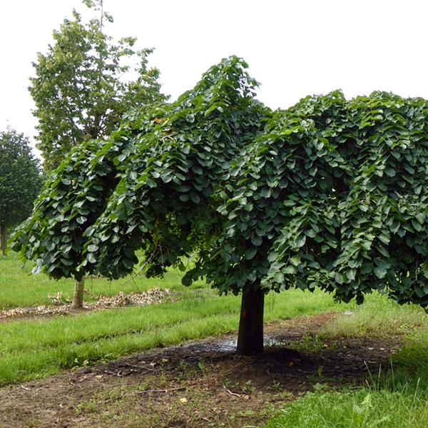 Вяз шершавый «Capmperdownii» - Ulmus glabra «Capmperdownii»