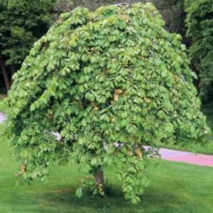 Вяз шершавый «Pendula» - Ulmus glabra «Pendula»