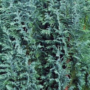 Кипарисовик Лавсона «Ellwoodii» - Chamaecyparis lawsoniana «Ellwoodii»