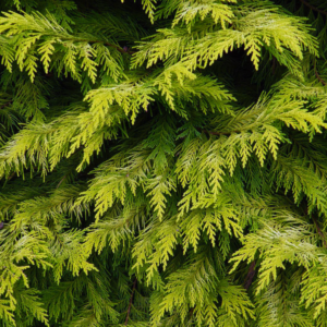 Кипарисовик Лавсона «Golden Wonder» - Chamaecyparis lawsoniana «Golden Wonder»