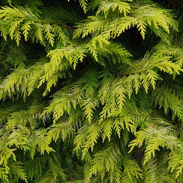 Кипарисовик Лавсона «Golden Wonder» - Chamaecyparis lawsoniana «Golden Wonder»
