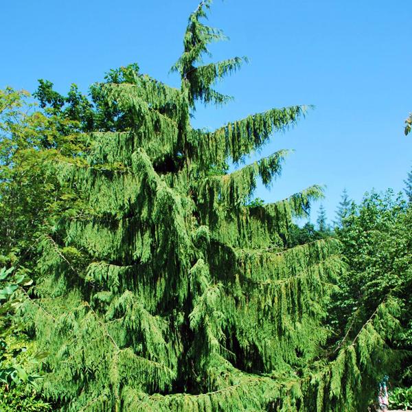 Кипарисовик нутканский «Pendula» - Chamaecyparis nootkatensis «Pendula»