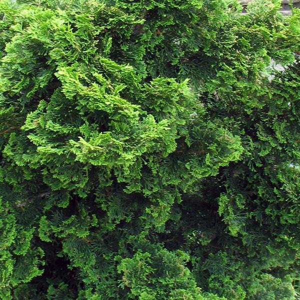 Кипарисовик туполистный «Nana Gracilis» - Chamaecyparis obtusa «Nana Gracilis»