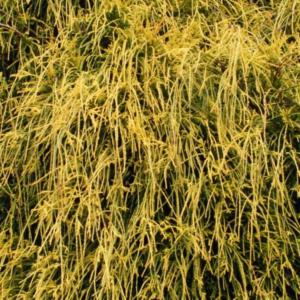 Кипарисовик горохоплодный «Filifera Aurea Nana» - Chamaecyparis pisifera «Filifera Aurea Nana»