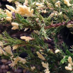 Можжевельник горизонтальный «Andorra Variegata» - Juniperus horizontalis «Andorra Variegata»