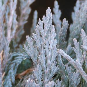 Можжевельник горизонтальный «Bar Harbor» - Juniperus horizontalis «Bar Harbor»