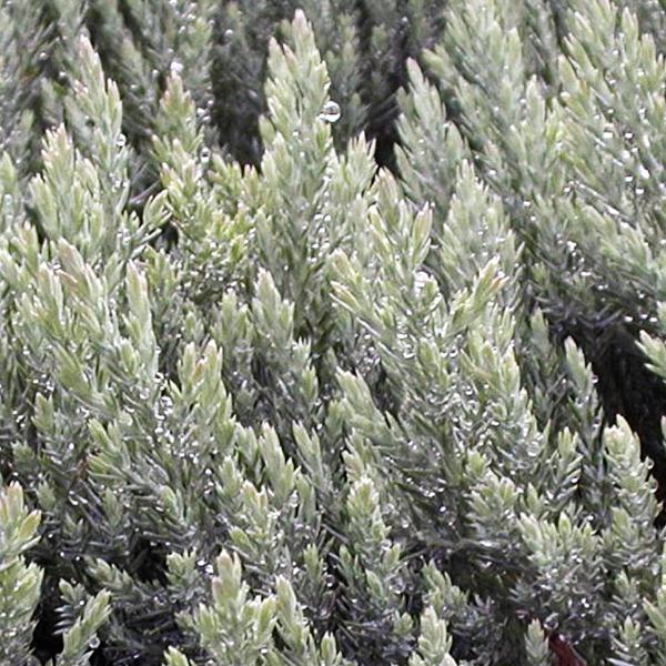 Можжевельник горизонтальный «Blue Forest» - Juniperus horizontalis «Blue Forest»