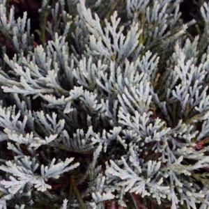 Можжевельник горизонтальный «Glacier» - Juniperus horizontalis «Glacier»