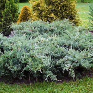 Можжевельник виргинский «Blue Cloud» - Juniperus virginiana «Blue Cloud»