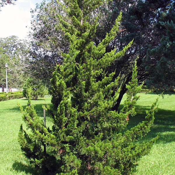 Можжевельник виргинский «Canaertii» - Juniperus virginiana «Canaertii»