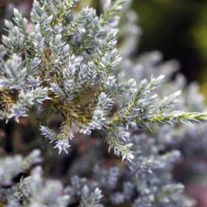 Можжевельник виргинский «Glauca» - Juniperus virginiana «Glauca»