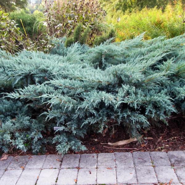 Можжевельник виргинский «Grey Owl» - Juniperus virginiana «Grey Owl»