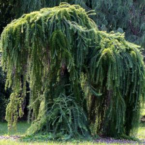 Лиственница европейская «Pendula» - Larix decidua «Pendula»