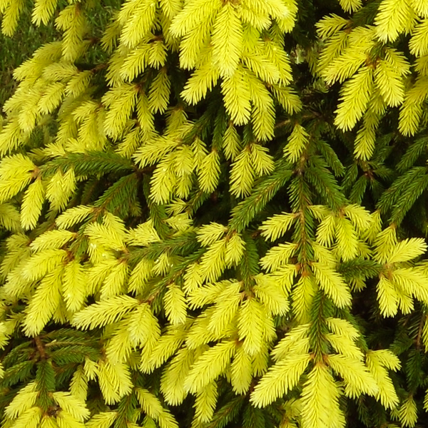 Ель обыкновенная «Aurea» - Picea abies «Aurea»