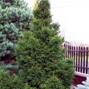 Ель обыкновенная «Barryi» - Picea abies «Barryi»