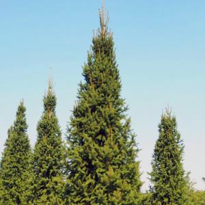 Ель обыкновенная «Columnaris» - Picea abies «Columnaris»