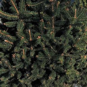 Ель обыкновенная «Cupressina» - Picea abies «Cupressina»