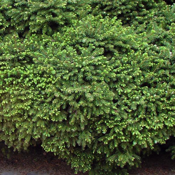 Ель обыкновенная «Echiniformis» - Picea abies «Echiniformis»