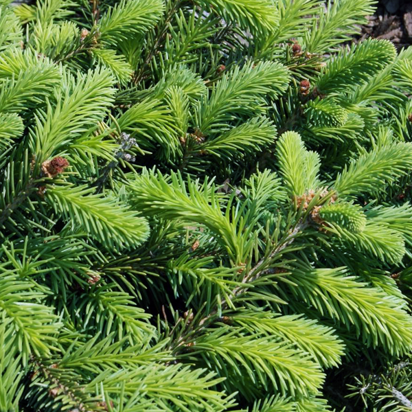 Ель обыкновенная «Procumbens» - Picea abies «Procumbens»