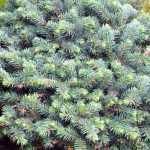 Ель обыкновенная «Pumila Glauca» - Picea abies «Pumila Glauca»