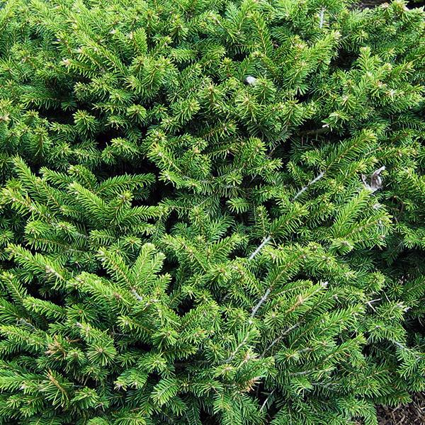 Ель обыкновенная «Pumila Nigra» - Picea abies «Pumila Nigra»