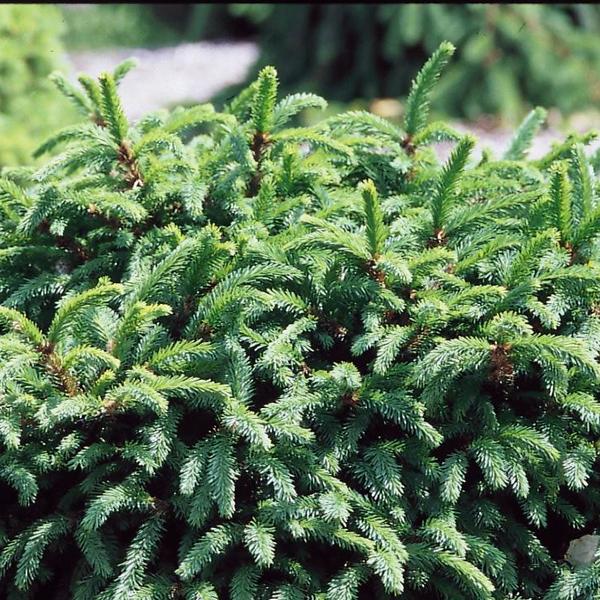 Ель обыкновенная «Pumila» - Picea abies «Pumila»