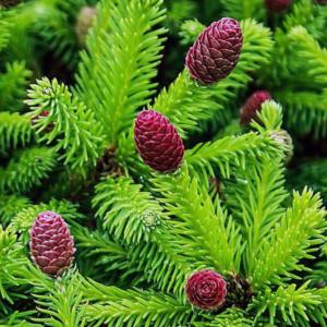 Ель обыкновенная «Pusch» - Picea abies «Pusch»