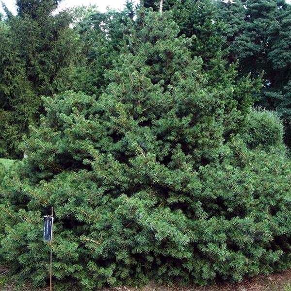 Ель обыкновенная «Pygmaea» - Picea abies «Pygmaea»
