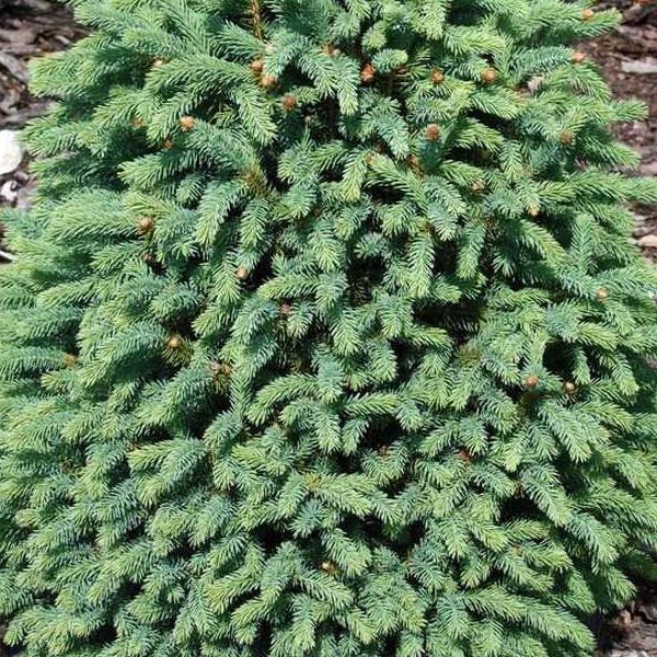 Ель обыкновенная «Pyramidalis» - Picea abies «Pyramidalis»
