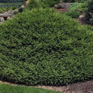 Ель обыкновенная «Repens» - Picea abies «Repens»