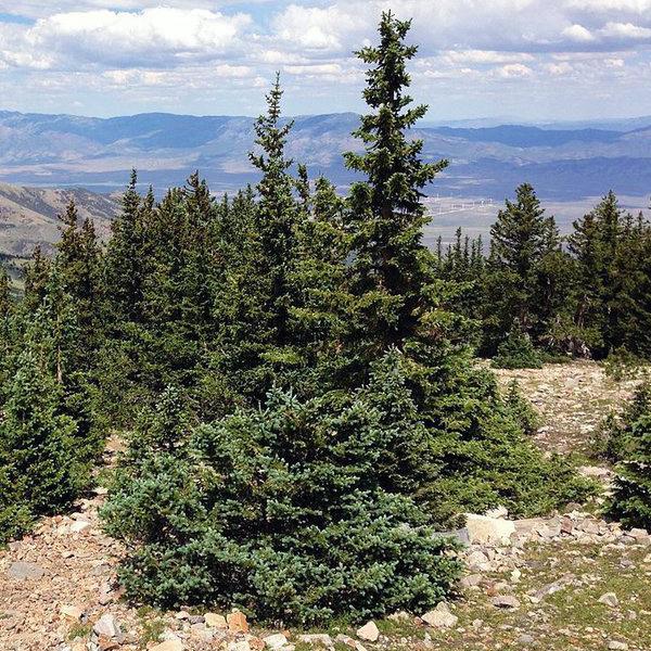 Ель Энгельмана - Picea engelmannii
