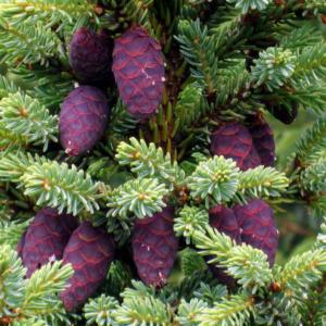 Ель черная - Picea mariana