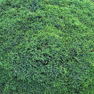 Ель черная «Nana» - Picea mariana «Nana»