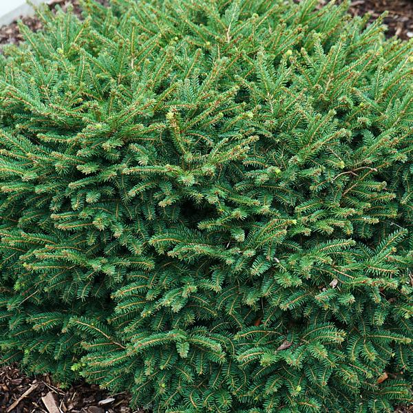 Ель сербская «Karel» - Picea omorika «Karel»