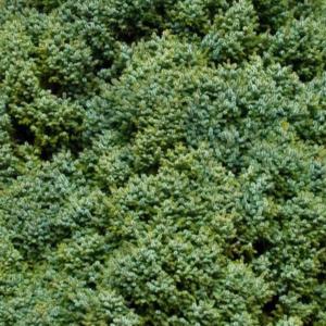 Ель сербская «Nana» - Picea omorika «Nana»