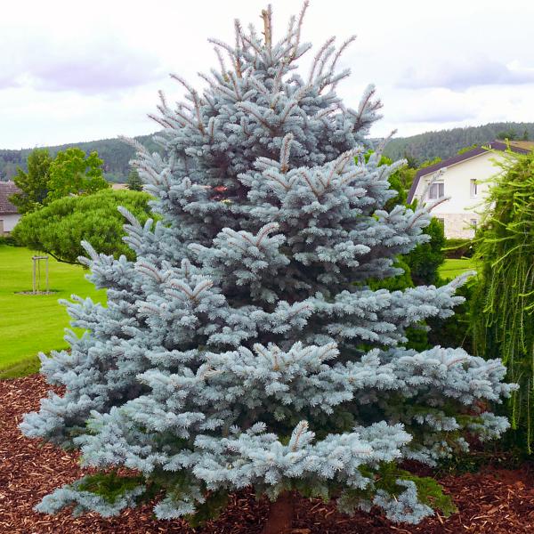 Ель колючая «Blue Mountain» - Picea pungens «Blue Mountain»
