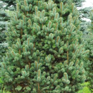 Ель колючая «Iseli Fastigiate» - Picea pungens «Iseli Fastigiate»