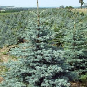 Ель колючая «Kaibab» - Picea pungens «Kaibab»