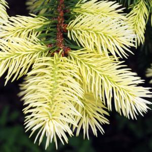 Ель колючая «Maigold» - Picea pungens «Maigold»