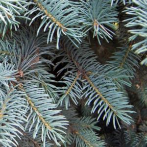 Ель колючая «Schovenhorst» - Picea pungens «Schovenhorst»