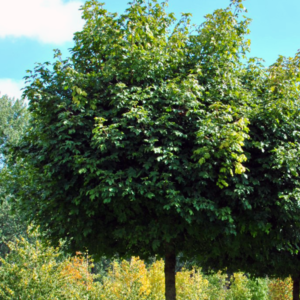 Клен полевой «Nanum» - Acer campestre «Nanum»