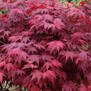 Клен дланевидный «Atropurpureum» - Acer palmatum «Atropurpureum»