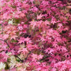 Клен дланевидный «Beni-maiko» - Acer palmatum «Beni-maiko»