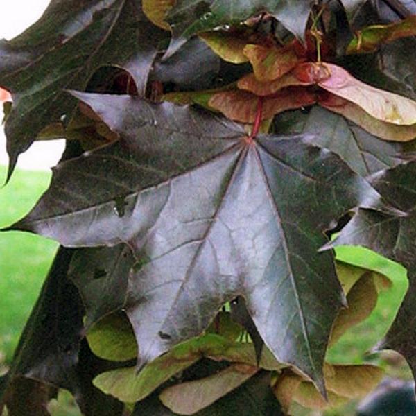 Клен дланевидный «Crimson King» - Acer palmatum «Crimson King»