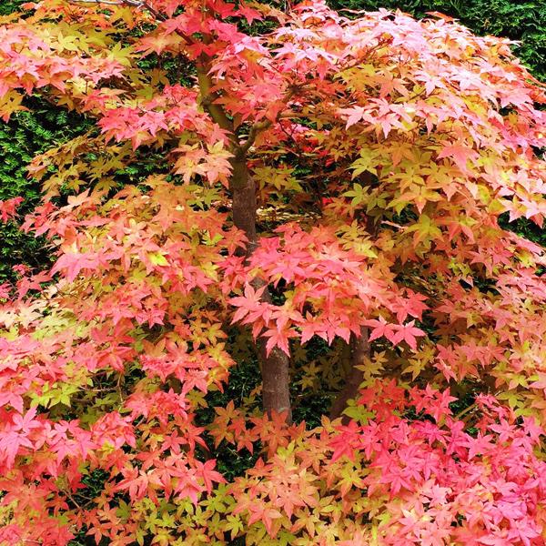 Клен дланевидный «Deshojo» - Acer palmatum «Deshojo»