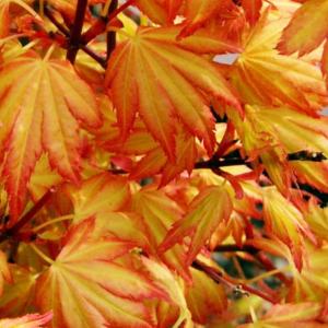 Клен дланевидный «Orange Dream» - Acer palmatum «Orange Dream»