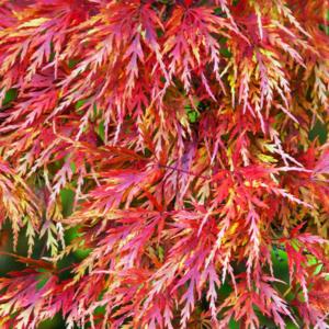 Клен дланевидный «Seiryu» - Acer palmatum «Seiryu»