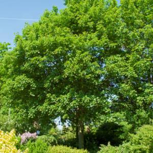 Клен белый «Negenia» - Acer pseudoplatanus «Negenia»