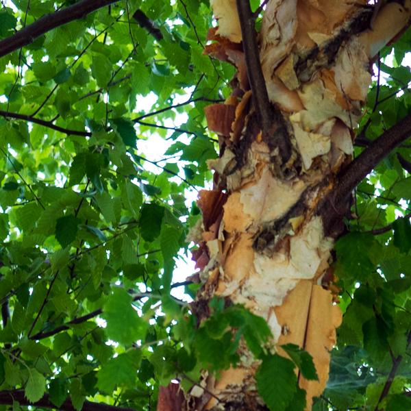 Береза черная «Summer Cascade» - Betula nigra «Summer Cascade»